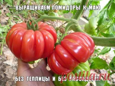 Как вырастить помидоры к маю без теплицы и без рассады   Осенью, перед самыми заморозками, когда плодоношение томатов останавливается, оторвите из понравившихся вам кустов (любых сортов) несколько отростков и поставьте в воду на 5-6 дней (ставить в воду с…