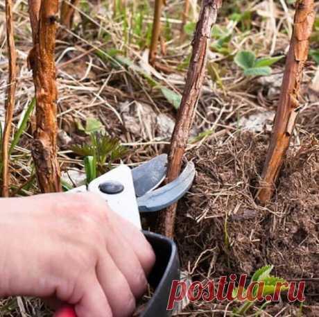 Двойная обрезка малины утраивает урожай | ❀ Все растет ❀ | Яндекс Дзен