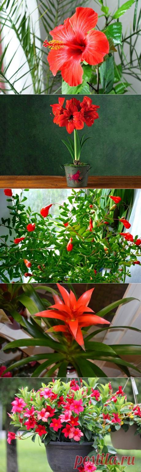Все комнатные растения с красными цветами — Бабушкины секреты