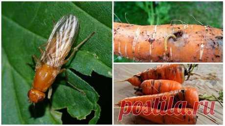 Чем полить морковь от морковной мухи???   Записки садовода   Яндекс Дзен