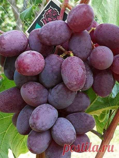 Атаман виноград фото
