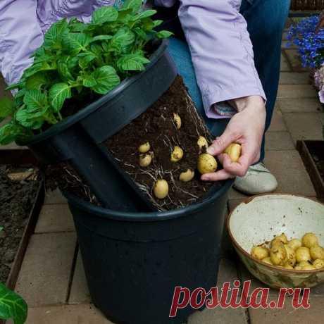 Выращиваем зимой молодую картошечку... под кроватью!  Зимой молодой картофель стоит очень дорого. Но не это самое печальное, а то, что купить в это время нашу, отечественную, картошечку практически невозможно − на прилавках лежит только невкусный импорт…