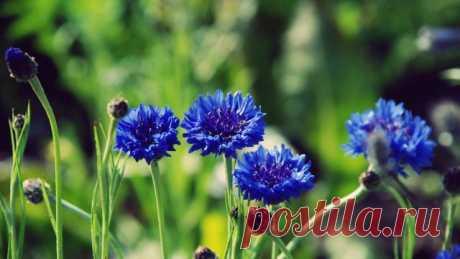 Wallpaper flowers, blue, buds, stems HD — WallpapersCraft