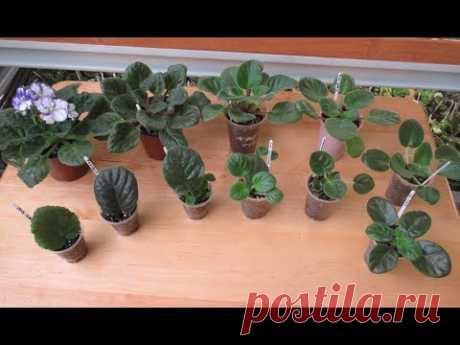 Этапы развития фиалки и сколько нужно времени , чтобы вырастить цветущую розетку из листика.