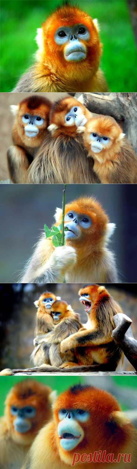 Золотистые курносые обезьяны | В мире интересного