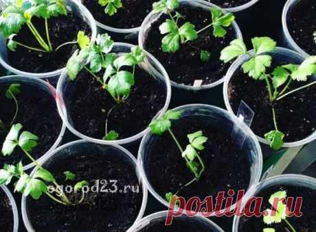 Выращивание корневого сельдерея, как правильно или польза и вред сельдерея