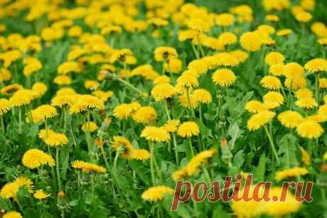 Рецепт варенья из одуванчиков с лимоном Весна — это лучшее время года, ведь всё кругом окутывается цветами, наполняется яркими красками и оживает. Больше всего я люблю весну в ту пору, когда зацветают одуванчики. Маленькие яркие цветы как будто говорят тебе, что лето уже совсем близко...