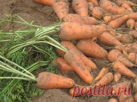 Секреты удобрения моркови — Садоводка