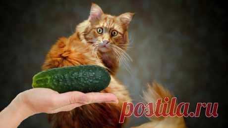 Почему кошки впадают в панику при виде огурцов: причины такого поведения