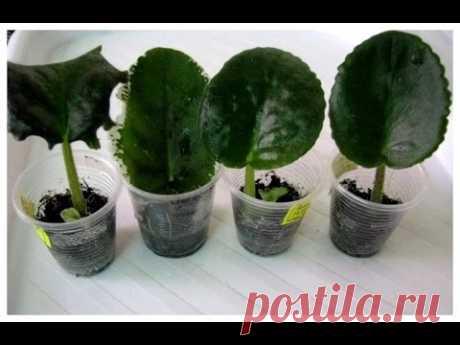 Как вырастить фиалку из листика. Укоренение и размножение сенполии.