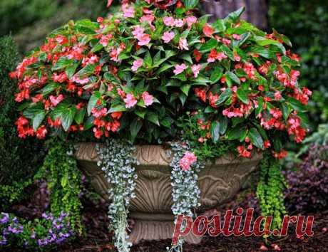 Бегония вечноцветущая в вашем саду — выращивание и уход