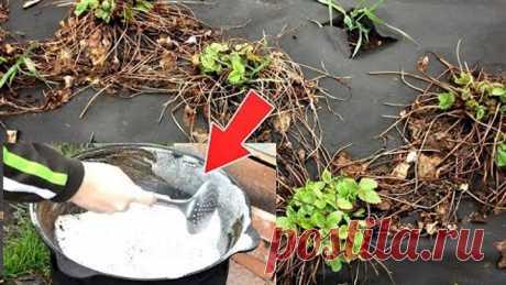 Облейте этим кустики клубники в марте апреле для супер урожая! Чем обработать клубнику после зимы?