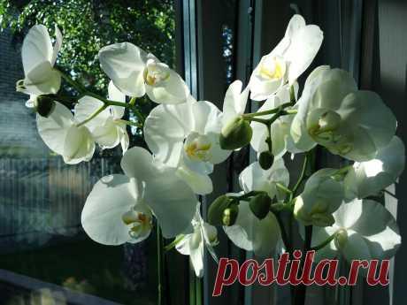 Орхидея белая.