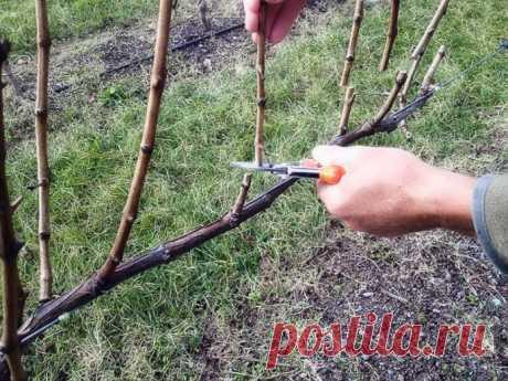 Обрезка винограда осенью для начинающих в картинках и с видео