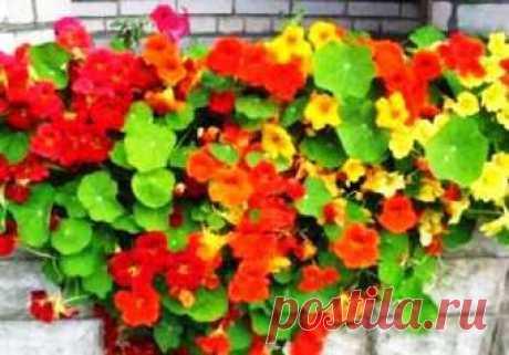 The nasturtium - cultivation creates it bright compositions