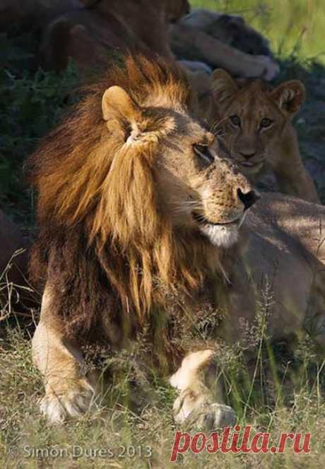 Свои видом этим львицам удается сбить с толку даже биологов: их шеи украшают густые гривы, а рев — громкий и гортанный, что обычно присуще только самцам.