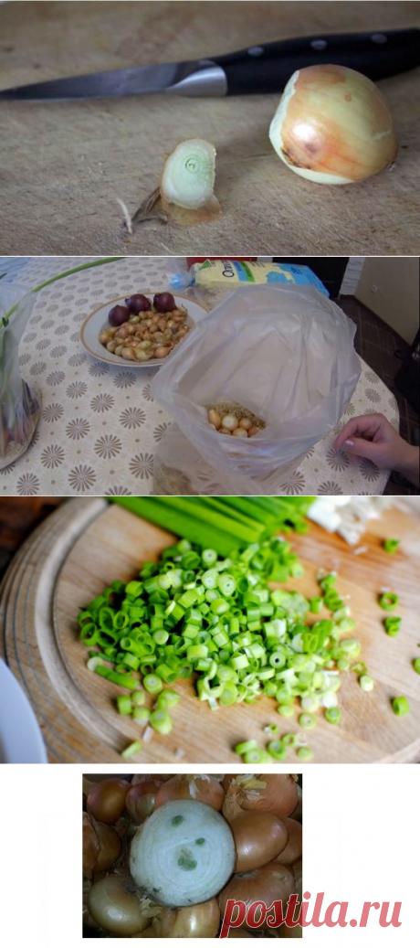 Зелёный лук: выращивание в пакете, технология, фото, выбираем