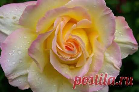 глория дей роза: 5 тыс изображений найдено в Яндекс.Картинках
