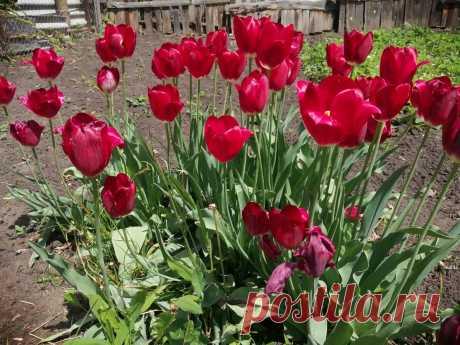 Из года в год, когда тюльпаны отцветут, я делаю одно и то же: и на следующий сезон у меня в 2 раза больше цветов!   Мой Мир   Яндекс Дзен