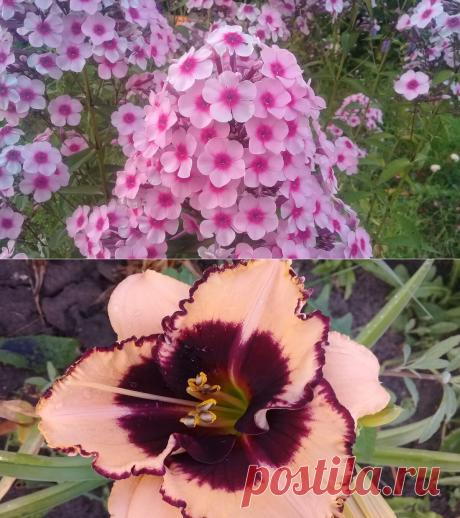 🍀5 топовых цветов, которые не требуют особого ухода и выкапывания. Посадил и любуйся годами | Дача сибирячки | Яндекс Дзен