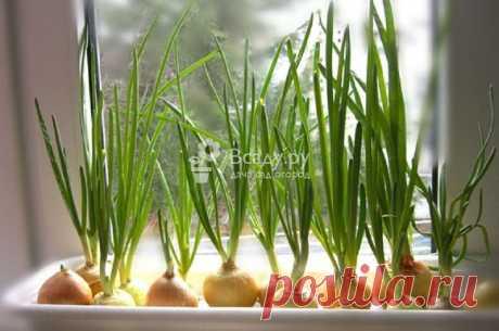 Как вырастить свежую зелень на подоконнике зимой: советы и рекомендации