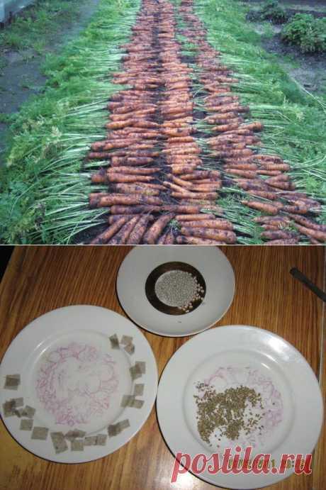 Как сажать морковь.