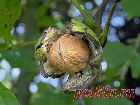 Семь орешков для женской красоты и здоровья.