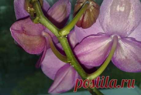 На листьях орхидеи липкие капли — что делать