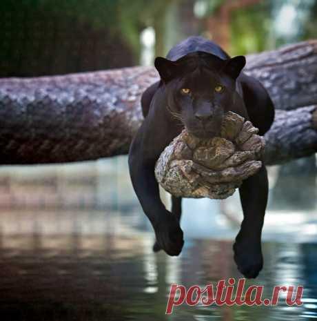 Черные пантеры — это просто кошки размера XXL