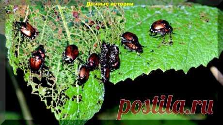 Этот жук ТОЧНО ХУЖЕ колорадского жука и способен уничтожить все в саду и огороде | 6 соток