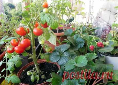 Огород на балконе и подоконнике - ГлагоL