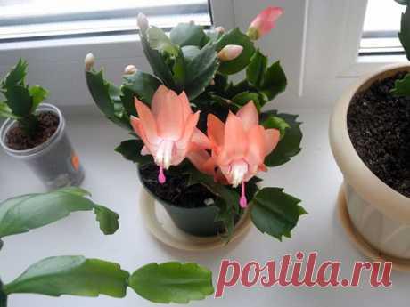Цветок декабрист: уход в домашних условиях, фото, размножение, пересадка, почему не цветет