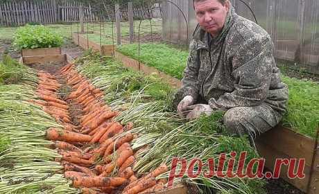 Я морковь сею следующим образом.  Морковь любит глубоко  возделанную плодородную почву. Не прореживаю, почти. Поступаю следующим образом:  за 10-12 дней до посева семена моркови завязываем в тряпочку ( посвободнее).  Закапываем во влажную землю на штык лопаты ( важно!). В течение этого срока из  семян выветриваются эфирные масла, которые мешают семенам прорасти. По  истечении указанного срока откапываем узелки с семенами из земли. Семена будут  уже набухшие, крупные, почти...