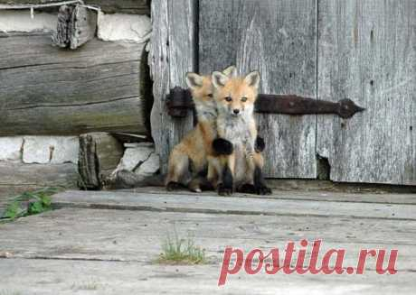 Post of love to foxes: all representatives of this extensive look are simply delightful. You do not trust? Admire
