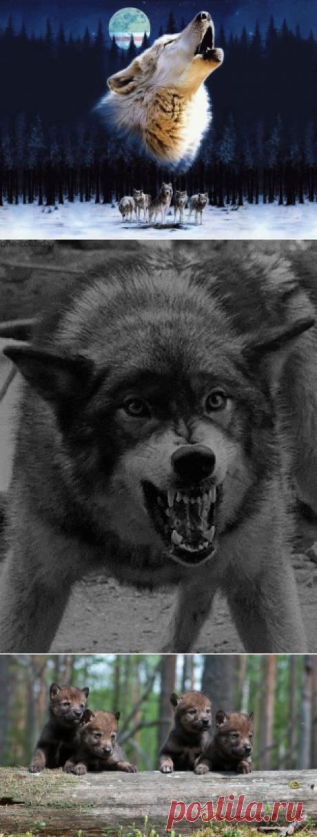 К чему снятся Волки — 37 значений сна видеть Волков которые Нападают для мужчин и женщин