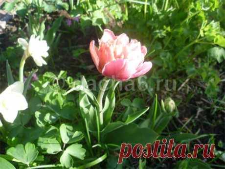 Посадка тюльпанов в ведра осенью