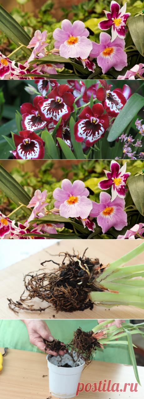 Как спасти засыхающую орхидею на Supersadovnik.ru
