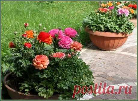 Ранункулюс (Ranunculus) фото. Цветы для вазонов.