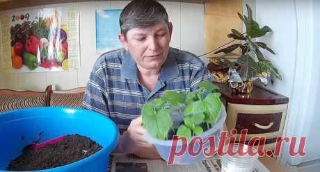 Выращиваем огурцы в торфяных таблетках   Жизнь хорошА!   Яндекс Дзен