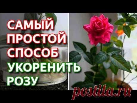 Укоренить любую розу! Самый простой способ как укоренить розу.