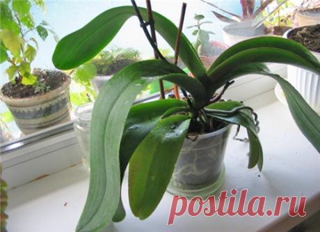 La golosina de ajo para las orquídeas: el florecimiento abundante es garantizado
