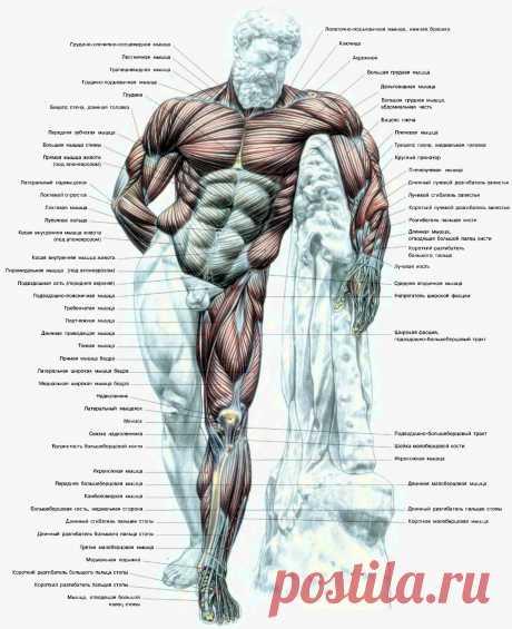 Атлас мышц человека. Вид спереди