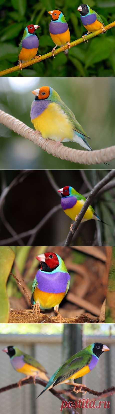 Гульдова амадина – одна из самых ярких и красивых птиц :  НОВОСТИ В ФОТОГРАФИЯХ