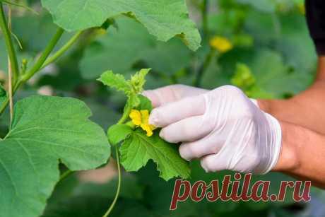 Как и зачем опылять растения вручную? Фото — Ботаничка.ru