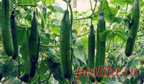Формирую тепличные огурцы по этой технологии и снимаю в 2 раза больше урожая | 6 соток