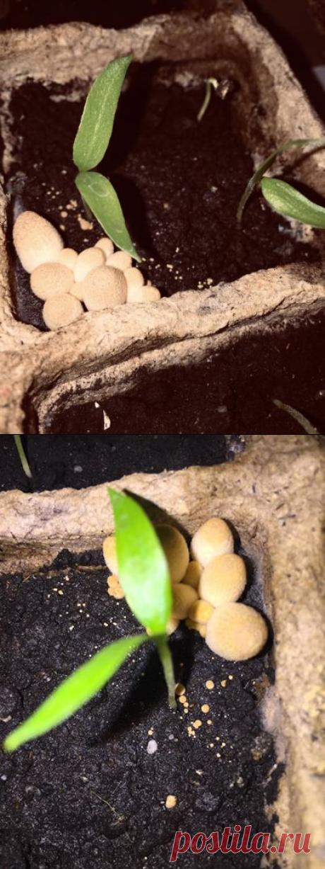 Добрый вечер! Подскажите, пожалуйста, что это за грибы выросли в горшочках с рассадой?