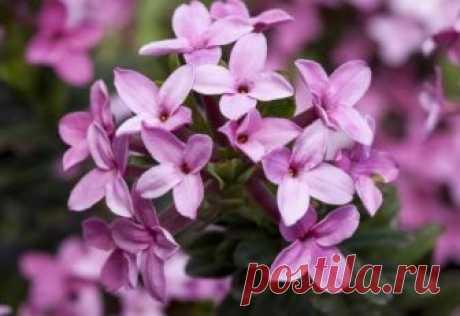Смертельно опасные цветы Даже самые прекрасные на вид цветы, которые вы без всякой задней мысли дарите кому-либо, могут содержать в себе чрезвычайно опасные яды, способные нанести серьезный вред здоровью и даже привести к гиб...