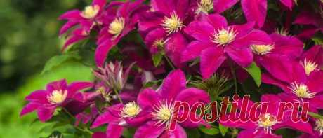 Удобрения для клематисов весной для обильного цветения Клематисы, они же ломоносы, лозинки и «дедушкины кудри» – многолетние лианы, идеально подходящие для украшения фасадов, изгородей, беседок и арок. Чтобы их цветение было обильным и радовало глаз, нужно знать, чем подкормить клематис в разные периоды вегетации...