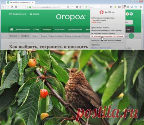 Как защитить вишню и черешню от птиц   Вишня, черешня (Огород.ru)