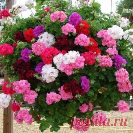 El florecimiento rápido y el follaje pomposo son abastecidos, si regar las plantas por esta fertilización simple